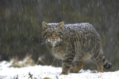 Scottish wildcat (Felis sylvestris) emerging from pine forest in blizzard, Cairngorms National Park, Scotland.