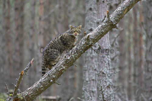 Scottish wildcat (Felis sylvestris) climbing fallen tree in pine forest, Cairngorms National Park, Scotland. scottish wildcat,cat,mammal Peter Cairns