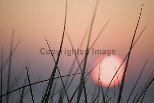 Blades of Marram Grass (Ammophila arenaria) dance in the gentle winds sweeping across the sand dunes of Traigh Scarasta (Scarista) on the Isle of Harris.  The setting sun glows a dusky pink, silhouetting the fleshy grass spikes. Pic: Fran Halsall / Scottish Viewpoint Tel: +44 (0) 131 622 7174 Fax: +44 (0) 131 622 7175 E-Mail: info@scottishviewpoint.com Web: www.scottishviewpoint.com This picture cannot be reproduced without prior permission from Scottish Viewpoint. coast,coastal,detail,evening,flora,grass,harris,isle of harris,june,landscape,nature,nobody,outdoor,outdoors,outer hebrides,pink sky,plant,scotland,silhouette,summer,sun,sunset,western isles Fran Halsall 2009