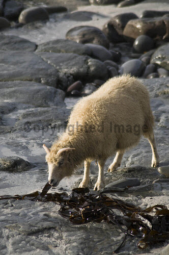NORTH RONALDSAY ORKNEY North Ronaldsay sheep