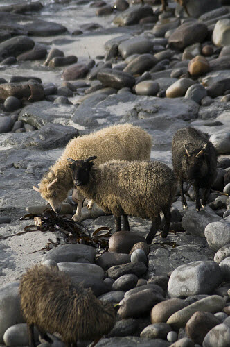 NORTH RONALDSAY ORKNEY North Ronaldsay sheep flock eating seaweed  Pic: Doug Houghton / Scottish Viewpoint Tel: 0044 (0) 131 622 7174 Fax: 0044 (0) 131 622 7175 E-Mail: info@scottishviewpoint.com Web: www.scottishviewpoint.com This picture cannot be reproduced without prior permission from Scottish Viewpoint. orkney,north,ronaldsay,seaweed,sheep,eating,bred,northern,isles,islands,ewe,ovis,ovine,farm,breed,rear,breeding,raising,rearing,farming,breeds,breds,pedigrees,thoroughbreds,pedigree,thoroughbred,livestock,live,stock,domestic,3,number,three,trio,animal,pure,purebred,purebreed,animals,purebreds,beachs,noone,nobody,ewes,island,beaches,feeding,feed,domesticated,farmed,reared,raised,agricultural,agriculture,economy,rustic,beach,rocks,stones,bolders,seaside,seacoast,sea,coast,rocky,shore,eats,feeds,eater,scotland,scottish,thorough,purebreeds,eat,isle,islans,uk,gb,united,kingdom,great,britain,british,europe,herdsflocks,rears,highlands,woolly,yarns,wool