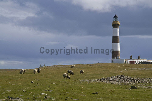 NORTH RONALDSAY ORKNEY Sheep grasing North Ronaldsay Lighthouse  Pic: Doug Houghton / Scottish Viewpoint Tel: 0044 (0) 131 622 7174 Fax: 0044 (0) 131 622 7175 E-Mail: info@scottishviewpoint.com Web: www.scottishviewpoint.com This picture cannot be reproduced without prior permission from Scottish Viewpoint. orkney,north,ronaldsay,lighthouse,sheep,grazing,sky,dark,gray,grey,cloudy,bleak,northern,light,house,board,nlhb,tower,beacon,ewe,female,ovis,ovine,herd,flock,fold,grasing,grass,grasses,graze,feed,grazes,dennis,ness,lighthouses,eating,feeding,field,navigation,navigational,houses,towers,beacons,ewes,females,herds,flocks,ate,eats,feeds,eat,grassy,green,fertile,pasture,meadow,lea,arable,land,warning,signal,marine,aid,maritime,safe,safety,ship,visitor,attraction,sight,sightsee,see,interest,isles,orkneys,scotland,islands,highlands,isle,scottish,island,uk,gb,europe,united,kingdom,great,britain,british,weather