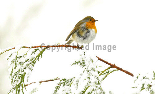 A robin in the winter snow in Glasgow Pic: Garry F McHarg / Scottish Viewpoint Tel: +44 (0) 131 622 7174 Fax: +44 (0) 131 622 7176 E-Mail: info@scottishviewpoint.com Web: www.scottishviewpoint.com This picture cannot be reproduced without prior permission from Scottish Viewpoint. winter,weather,bad,snow,bird,birds,eat