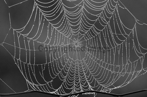 Spiders Web with morning dew, Dumfries and Galloway.