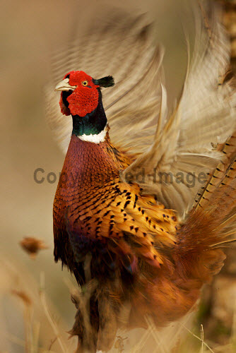 Displaying Cock Pheasant in springtime mating colours.