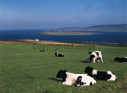 EVIE ORKNEY Friesan cow herd grazing Eynhallow Sound Enyhallow Rousay Island  Picture Credit: Doug Houghton / Scottish Viewpoint Tel: +44 (0) 131 622 7174   Fax: +44 (0) 131 622 7175 E-Mail : info@scottishviewpoint.com This photograph cannot be used without prior permission from Scottish Viewpoint. friesan,grazing,field,farm,dairy,cows,cattle,grass,scotland,scottish,black,white,milk,bovine,bovinae,bovidae,herbivore,herbivorous,domestic,herd,cowherd,stock,animals,livestock,live,raise,reared,farmland,eating,agriculture,fertile,meadow,countryside,country,pasture,cow,fields,outdoors,graze,remote,rural,orkneys,grassy,rearing,land,lea,arable,farming,agricultural,industry,agronomy,grow,growing,cultivation,cultivating,cultivate,ranch,ranching,side,domesticated,mammals,raised,raising,uk,gb,milking,eynhallow,sound,enyhallow,rousay,island,evie,britain,feeding,grazer,grazes,eat,feed,countrylife,life,scene,outside,outdoor,remoteness,isolation,isolated,far,away,faraway,north -