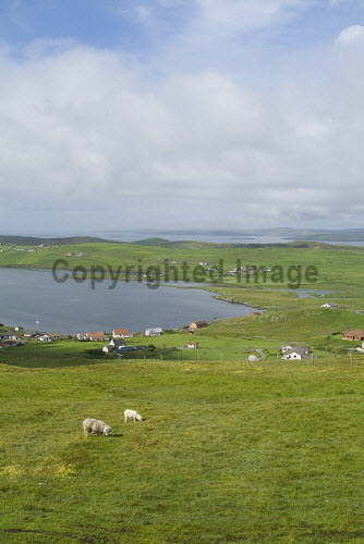 Whiteness Voe WHITENESS SHETLAND Sheep and lamb on hillside overlooking Nesbister and Whiteness Voe  Picture Credit: Doug Houghton / Scottish Viewpoint Tel: +44 (0) 131 622 7174   Fax: +44 (0) 131 622 7175 E-Mail : info@scottishviewpoint.com This photograph cannot be used without prior permission from Scottish Viewpoint. shetland,whiteness,voe,scotland,scottish,farming,fresh,isolated,isolation,country,side,countryside,remote,animal,mammal,grazer,fed,eating,graze,grass,grase,wool,fleeces,wooly,stock,flock,farm,agricultural,agriculture,livestock,land,live,sto,ground,grassland,pasturage,eat,ovine,outside,outdoors,agronomy,life,central,mainland,isles,highlands,and,northern,north,islands,uk,united,kingdom,great,britain,british,europe,gb,sheep,lamb,on,hillside,overlooking,nesbister -