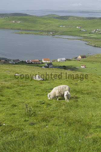 Whiteness Voe WHITENESS SHETLAND Sheep and lamb on hillside overlooking Nesbister and Whiteness Voe  Picture Credit: Doug Houghton / Scottish Viewpoint Tel: +44 (0) 131 622 7174   Fax: +44 (0) 131 622 7175 E-Mail : info@scottishviewpoint.com This photograph cannot be used without prior permission from Scottish Viewpoint. shetland,whiteness,voe,sheep,ewe,remote,farming,scotland,scottish,fresh,isolation,country,side,countryside,animal,grazer,fed,eating,graze,grass,grase,wool,fleeces,wooly,farm,agricultural,agriculture,livestock,land,live,stock,grassland,female,ground,pasturage,eat,outside,outdoors,agronomy,life,mammal,isolated,woolly,yarn,fleece,ovis,ovine,central,mainland,isles,highlands,and,northern,north,islands,uk,united,kingdom,great,britain,british,europe,gb,lamb,on,hillside,overlooking,nesbister -