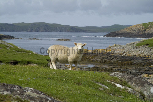 Nibon GUNNISTER SHETLAND Shetland lamb looking