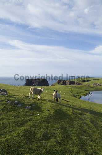 Dridgeo ESHA NESS SHETLAND Two lambs grazing on