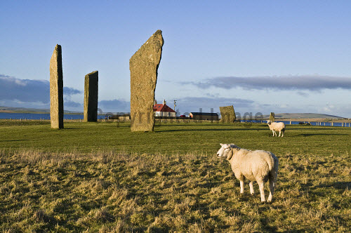 Sheep FARMING ORKNEY Rams in field Standing stones of Stenness  Picture Credit: Doug Houghton / Scottish Viewpoint Tel: +44 (0) 131 622 7174   Fax: +44 (0) 131 622 7175 E-Mail : info@scottishviewpoint.com This photograph cannot be used without prior permission from Scottish Viewpoint. orkney,farming,sheep,standing,stones,rural,farm,fold,ovis,ovine,ram,male,graze,eat,grazes,eats,feeds,grazing,eating,menhir,customs,heritage,megalith,monolith,stone,breed,bred,rear,animals,breeds,breds,rears,agricultural,agriculture,economy,rustic,isle,north,scotland,scottish,island,isles,orkneys,islands,northern,highlands,traditions,culture,cultural,custom,tradition,traditional,neolithic,bronze,age,prehistory,prehistoric,one,single,individual,1,sole,lone,pre,historic,history,menhirs,henge,circle,henges,circles,noone,nobody,animal,uk,gb,united,kingdom,great,britain,british,europe,westmainland,west,mainland,flocked,flocks,grazed,ate,grazer -