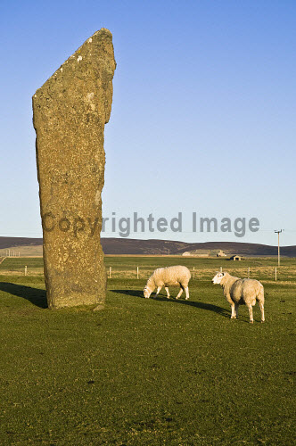 Sheep FARMING ORKNEY Rams grazing in field Standing stones of Stenness  Picture Credit: Doug Houghton / Scottish Viewpoint Tel: +44 (0) 131 622 7174   Fax: +44 (0) 131 622 7175 E-Mail : info@scottishviewpoint.com This photograph cannot be used without prior permission from Scottish Viewpoint. orkney,farming,sheep,standing,stone,graze,fold,ovis,ovine,ram,eat,grazes,eats,feeds,grazing,eating,feeding,menhir,customs,heritage,megalith,monolith,menhirs,neolithic,farm,animals,breeds,breds,rears,breed,bred,rear,agricultural,agriculture,noone,animal,feed,isle,north,scotland,scottish,island,isles,orkneys,islands,northern,highlands,traditions,culture,cultural,custom,tradition,traditional,bronze,age,prehistory,prehistoric,one,single,individual,1,sole,lone,pre,historic,history,henge,circle,nobody,uk,gb,united,kingdom,great,britain,british,europe,westmainland,west,mainland,flocked,flocks,grazed,ate,grazer,eater,archaeology,archeological,archeology,archaeological -