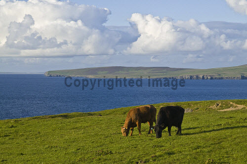 Beef cattle FARMING ORKNEY Pair of beef cows grazing above Eynhallow Sound in Evie  Picture Credit: Doug Houghton / Scottish Viewpoint Tel: +44 (0) 131 622 7174   Fax: +44 (0) 131 622 7175 E-Mail : info@scottishviewpoint.com This photograph cannot be used without prior permission from Scottish Viewpoint. orkney,farming,beef,cattle,grazing,field,livestock,isle,north,scotland,scottish,island,isles,orkneys,islands,cow,cows,animal,breeding,raising,rearing,domesticated,farmed,reared,raised,live,stock,domestic,animals,crossbreeds,crossbreds,crosses,pasture,meadow,grass,land,grazes,eating,northern,highlands,crossbreed,crossbred,cross,farm,breed,bred,rear,breeds,breds,rears,bullock,steer,steers,heifers,herd,cowherd,herbivorous,eater,grasses,grassy,green,fertile,graze,eat,feed,eats,feeds,grazed,ate,fed,grazer,feeder,nobody,noone,westmainland,west,mainland,uk,gb,united,kingdom,great,britain,british,europe,mammal,mammals,arable,agricultural,agriculture -