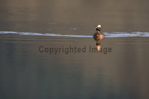 Slavonian Grebe, Scotland. 