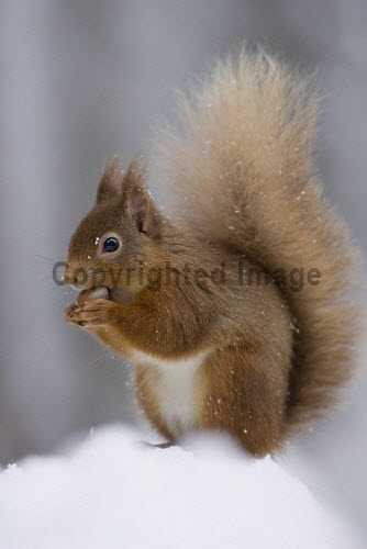 Red squirrel in snow-laden forest. Scotland. 