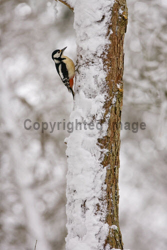 Great-spotted woodpecker in winter forest, Scotland. 