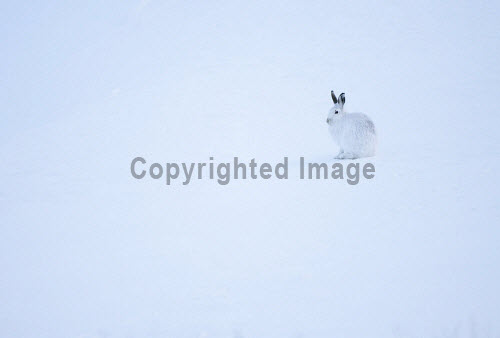 Mountain hare (Lepus timidus) in winter pelage, Deeside,  Scotland. 