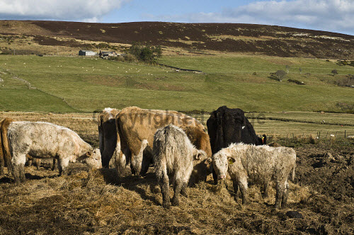 Hill farming cows eating winter fodder Caithness Beef cows CATTLE FARMING  Picture Credit: D. Houghton / Scottish Viewpoint Tel: +44 (0) 131 622 7174   Fax: +44 (0) 131 622 7175 E-Mail : info@scottishviewpoint.com This photograph cannot be used without prior permission from Scottish Viewpoint. hill,farming,farmland,cows,eating,winter,fodder,uk,caithness,beef,cattle,feeding,eats,feeds,foraging,eat,cow,herd,supplement,scotland,livestock,highlands,agriculture,highland,rural,economy,farm,agricultural,rustic,farms,fields,field,land,lands,farmlands,cowherd,animals,live,stock,animal,supplements,forages,forage,north,scottish,northern,great,britain,british,gb,europe,breeding,raising,rearing,season,wintertime,time,wintery -