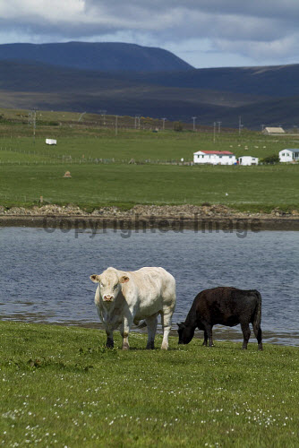 Lyness HOY ORKNEY Beef cattle grazing in field