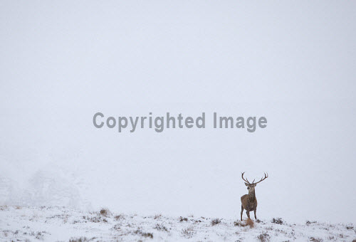 Red deer (cervus elaphus) lone stag  in snow, Scotland.