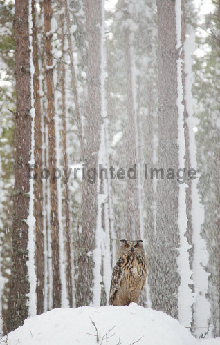 Eagle owl (Bubo bubo) in snow-laden forest, Scotland.