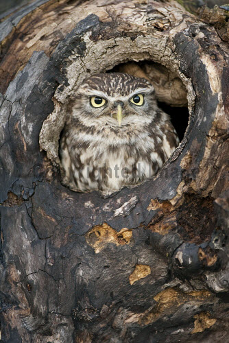 Little owl (Athene noctua) peering out of nest hole.