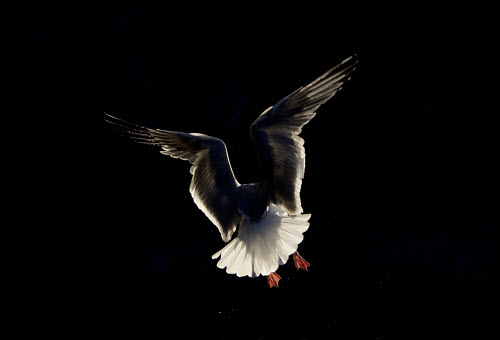 Herring gull (Larus argentatus) backlit in flight.