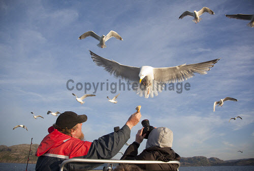 Herring gull (Larus argentatus) taking bread from fisherman's hand. Picture Credit : Peter Cairns / Scottish Viewpoint Tel: +44 (0) 131 622 7174   Fax: +44 (0) 131 622 7175 E-Mail : info@scottishviewpoint.com This photograph cannot be used without prior permission from Scottish Viewpoint. herring gull,larus argentatus,bird,avian,wildlife,scavenger,sea,coast,marine,water,fish,flight,flying,backlit,light,summer,ecotourism. Peter Cairns/Northshots