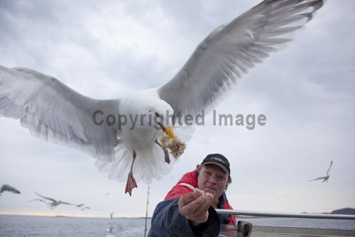 Herring gull (Larus argentatus) being fed by fisherman.