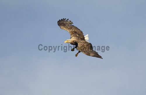 White-tailed eagle (Haliaeetus albiciila) flying. Picture Credit : Peter Cairns / Scottish Viewpoint Tel: +44 (0) 131 622 7174   Fax: +44 (0) 131 622 7175 E-Mail : info@scottishviewpoint.com This photograph cannot be used without prior permission from Scottish Viewpoint. white-tailed eagle,sea eagle,haliaeetus albicilla,bird,avian,wildlife,raptor,hunter,scavenger,bird of prey,sea,coast,marine,water,fish,flight,flying,spectacular,summer Peter Cairns/Northshots