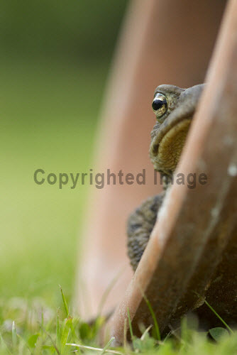 Toad (Bufo bufo) in flowerpot in garden, Scotland. 