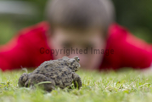 Toad (Bufo bufo)  in garden with young boy looking on, Scotland.