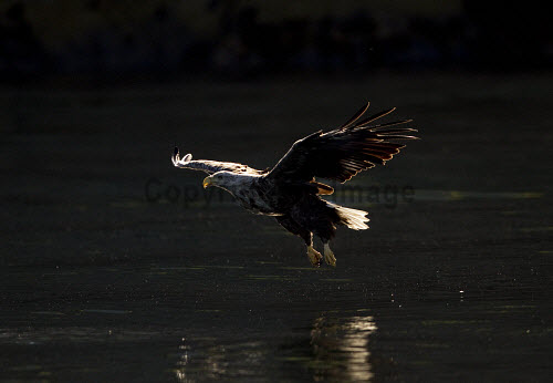 White-tailed eagle (Haliaeetus albiciila) in early morning light.