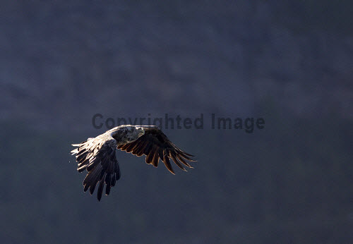 White-tailed eagle (Haliaeetus albiciila) in early morning light. Picture Credit : Peter Cairns / Scottish Viewpoint Tel: +44 (0) 131 622 7174   Fax: +44 (0) 131 622 7175 E-Mail : info@scottishviewpoint.com This photograph cannot be used without prior permission from Scottish Viewpoint. white-tailed eagle,sea eagle,haliaeetus albicilla,bird,avian,wildlife,raptor,hunter,scavenger,bird of prey,sea,coast,marine,water,fish,flight,flying,spectacular,summer Peter Cairns/Northshots