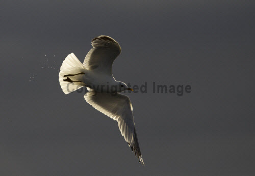 Kittiwake (Rissa tridactyla) backlit in flight. Picture Credit : Peter Cairns / Scottish Viewpoint Tel: +44 (0) 131 622 7174   Fax: +44 (0) 131 622 7175 E-Mail : info@scottishviewpoint.com This photograph cannot be used without prior permission from Scottish Viewpoint. kittiwake,rissa tridactyla,bird,avian,wildlife,scavenger,sea,coast,marine,water,fish,flight,flying,backlit,light,summer Peter Cairns/Northshots