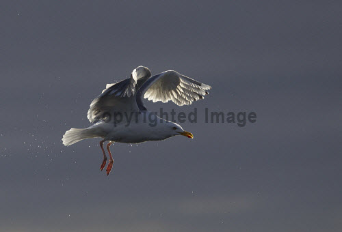 Herring gull (Larus argentatus) backlit in flight. Picture Credit : Peter Cairns / Scottish Viewpoint Tel: +44 (0) 131 622 7174   Fax: +44 (0) 131 622 7175 E-Mail : info@scottishviewpoint.com This photograph cannot be used without prior permission from Scottish Viewpoint. herring gull,larus argentatus,bird,avian,wildlife,scavenger,sea,coast,marine,water,fish,flight,flying,backlit,light,summer Peter Cairns/Northshots