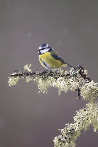 Blue Tit (Parus caeruleus) in winter, Cairngorms National Park, Highlands of Scotland. Picture Credit : Peter Cairns / Scottish Viewpoint   Tel: +44 (0) 131 622 7174  E-Mail : info@scottishviewpoint.com  This photograph cannot be used without prior permission from Scottish Viewpoint. 2011,bird,wildlife,passerine,avian,branch,perched,lichen,snow,CNP,fauna,highland