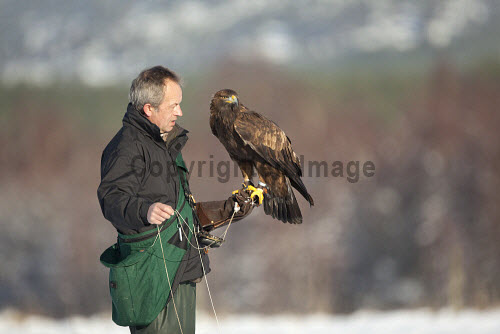 Falconer, Alan Rothery with captive Golden Eagle, Cairngorms National Park, Highlands of Scotland. Picture Credit : Peter Cairns / Scottish Viewpoint   Tel: +44 (0) 131 622 7174  E-Mail : info@scottishviewpoint.com  This photograph cannot be used without prior permission from Scottish Viewpoint. 2010,winter,sunny,avian,bird,falconry,hunter,iconic,man,native,predator,highland,CNP