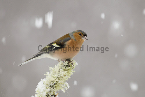 Chaffinch (Fringilla coelebs) in winter, Cairngorms National Park, Highlands of Scotland. Picture Credit : Peter Cairns / Scottish Viewpoint   Tel: +44 (0) 131 622 7174  E-Mail : info@scottishviewpoint.com  This photograph cannot be used without prior permission from Scottish Viewpoint. 2012,bird,wildlife,passerine,avian,branch,perched,lichen,snow,CNP,fauna,highland