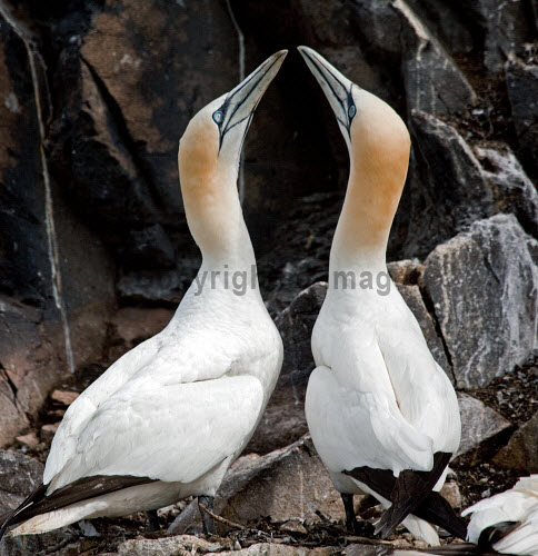 A pair of gannets displaying, the Bass Rock, East Lothian. Picture Credit : Ian Macrae Young / Scottish Viewpoint Tel: +44 (0) 131 622 7174   E-Mail : info@scottishviewpoint.com This photograph cannot be used without prior permission from Scottish Viewpoint. 2011,summer,bird,birds,wildlife,seabird