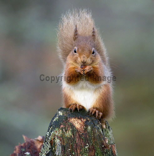 Red Squirrel, Rothiemurchus, Highlands of Scotland.