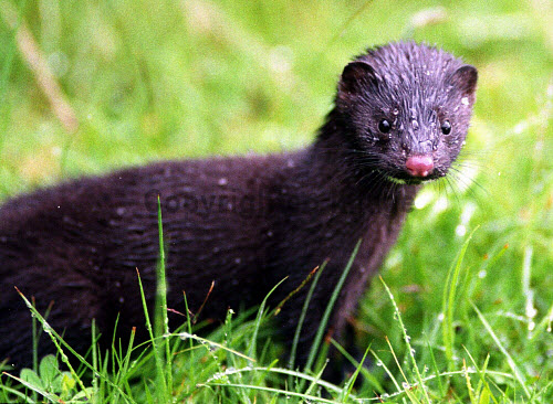 A Wild Mink in Scotland  . The wild mink  is a threat to wildlife in the Western Isles including Taransay and on the Scottish mainland. The alien mink  is being  tracked in a programme and eventually  will be eradicated. The hedgehog is also being eradicated from the Western Isles or Outer Hebrides.3 /02/03