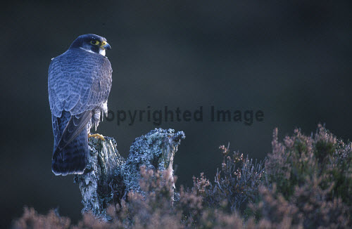 A PEREGRINE FALCON (FALCO PEREGRINUS) PERCHED ON A PINE SNAG ON MOORLAND, BADENOCH AND STRATHSPEY DISTRICT, HIGHLAND