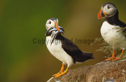 PUFFINS WITH SAND EELS ON THE THE BULLENS OF BUCHAN, NEAR CRUDEN BAY, ABERDEENSHIRE.