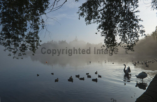 The view across a misty Linlithgow Loch to Linlithgow Palace and St Michael's Parish Church, Linlithgow, West Lothian. 2013,autumn,atmospheric,silhouette,mist,fog,foggy,bird,birds,duck,ducks,swan,swans,water,building,religion,attraction,visitor,tourist,history,heritage,historic,scotland,hs