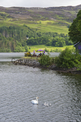 Picnic tables on the banks of Loch Ness at Fort Augustus, Highlands of Scotland. 2013,summer,sunny,water,swan,swans,bird,birds,fauna,cygnet,cygnets,highland,food,eating,picknicking,people,hill,hills,tree,trees,forest,forestry