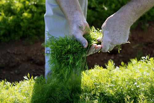 FRESH DILL BEING PICKED IN FIFE. HERB,HERBS,FARMING,FARMER,PRODUCE,LOCAL,FOOD,FRESH,PROVENANCE,INGREDIENT,INGREDIENTS,WEED,HANDS,HAND,agriculture,RAW,people