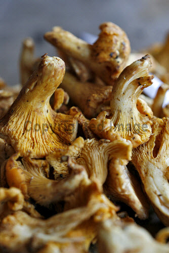 CHANTERELLE MUSHROOMS. mushrooms,mushroom,crop,crops,edible,no people,yellow,food,produce