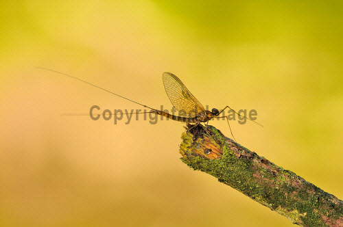 A Mayfly (Ephemeroptera Pterygota) on a branch by the River Urr, Dumfries and Galloway. summer,fauna,wildlife,wild,insect,wings,transparent,insects