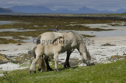 A horse and her foal on the shore on the Isle of Muck, Inner Hebrides, Scotland uk,u.k,Great Britain,GB,G.B,Scotland,Scottish,Inner Hebrides,Muck,Muick,Eigg,Small Isles island,islands,isle,isles,3 people,outdoors,daytime,summer,coast,coastal,coastline,animals,livestock,horse,horses,pony,ponies,foal,foals,highland